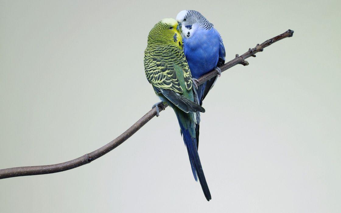 parakeet budgie parrot bird tropical (56) wallpaper