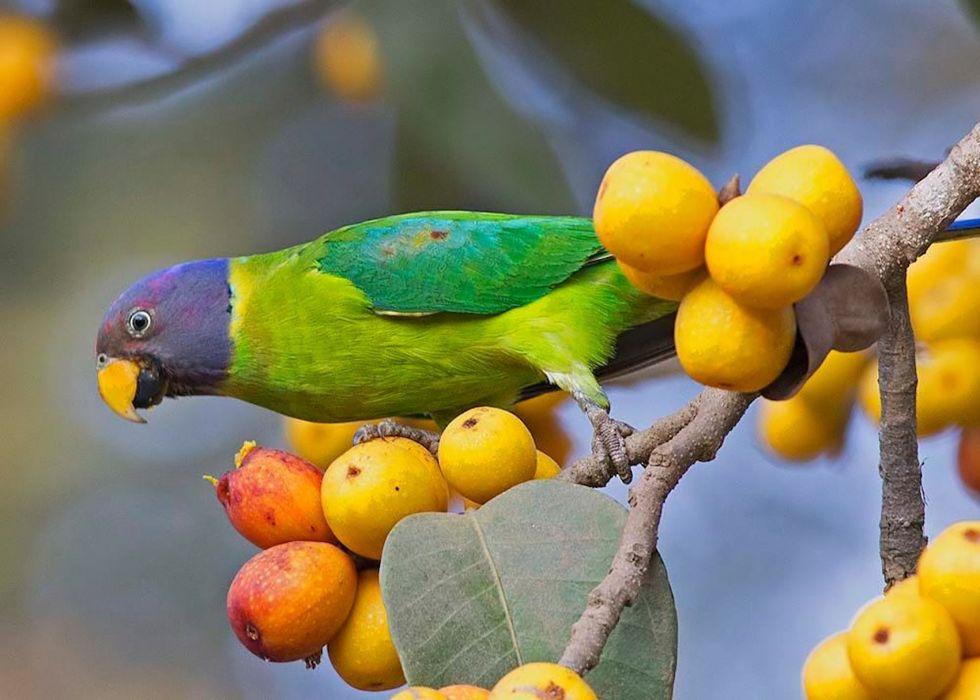 parakeet budgie parrot bird tropical (61) wallpaper