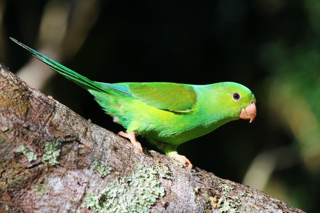 parakeet budgie parrot bird tropical (60)_JPG wallpaper