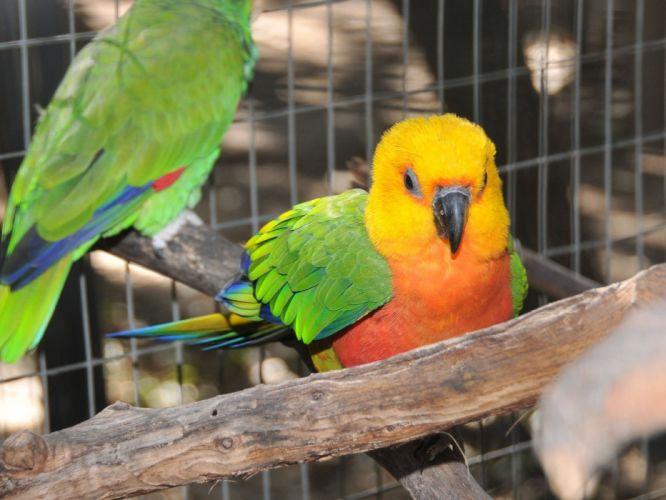 parakeet budgie parrot bird tropical (67) wallpaper