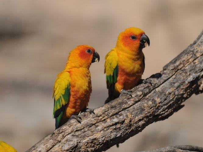 parakeet budgie parrot bird tropical (70) wallpaper
