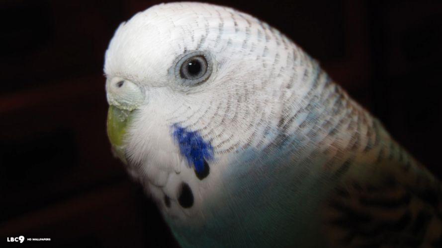 parakeet budgie parrot bird tropical (73) wallpaper