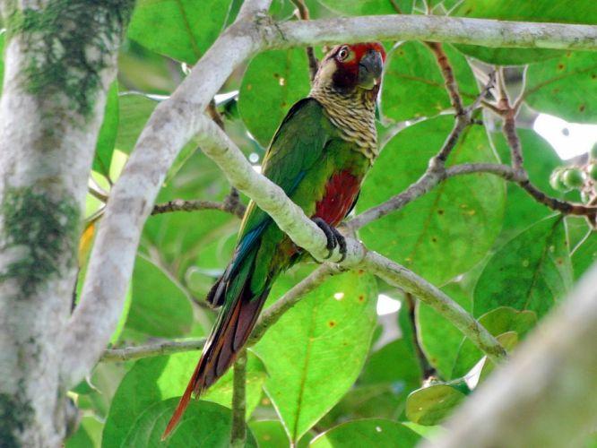 parakeet budgie parrot bird tropical (1)_JPG wallpaper