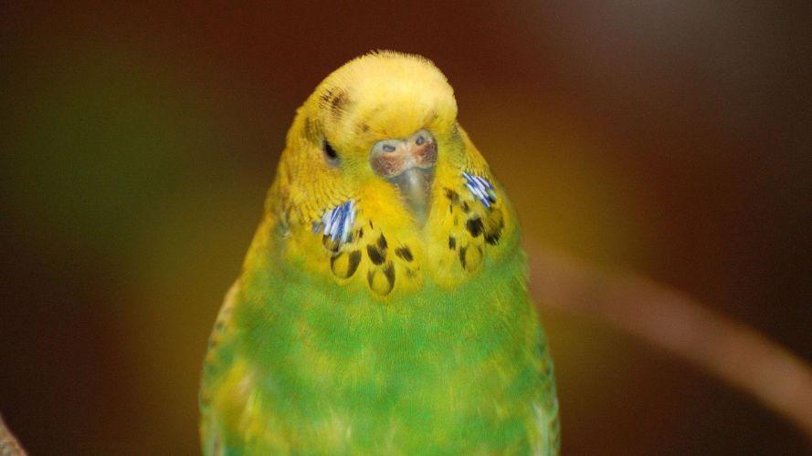 parakeet budgie parrot bird tropical (3) wallpaper