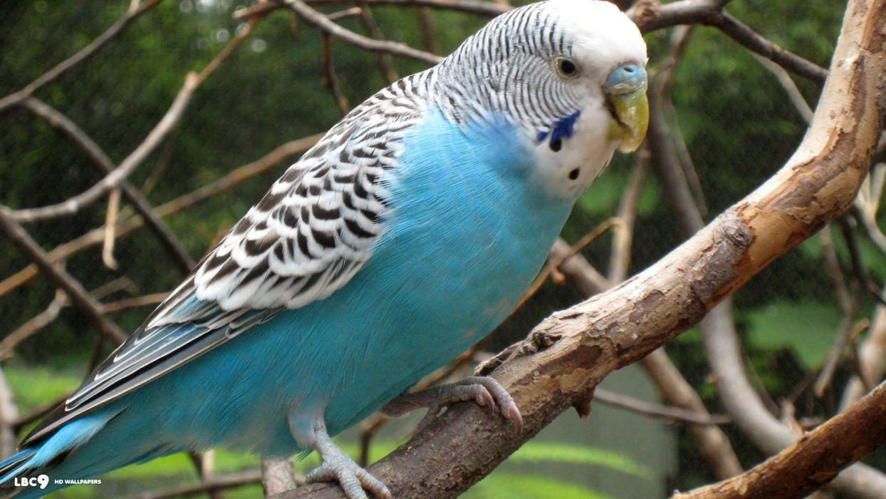 parakeet budgie parrot bird tropical (7) wallpaper