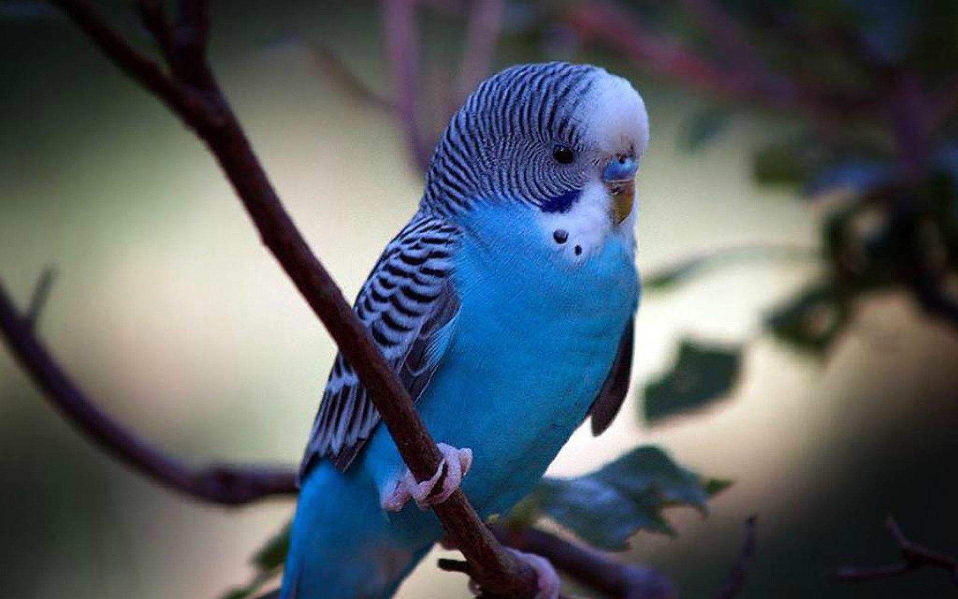 Blue Budgie Parakeet Parakeet Budgie Parrot Bird