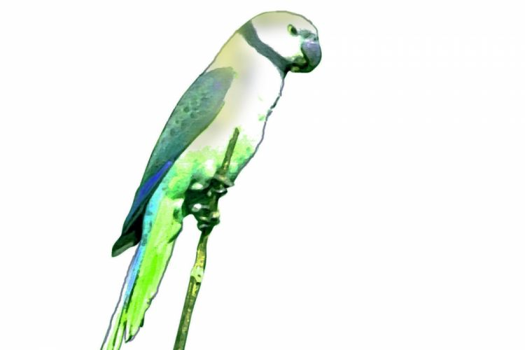 parakeet budgie parrot bird tropical (10) wallpaper
