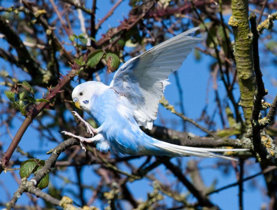 parakeet budgie parrot bird tropical (16) wallpaper