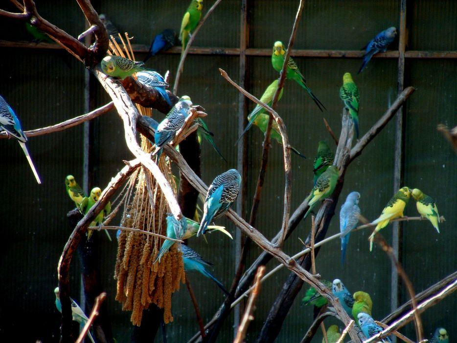 parakeet budgie parrot bird tropical (19) wallpaper