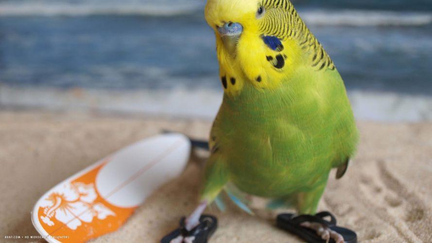 parakeet budgie parrot bird tropical (22) wallpaper