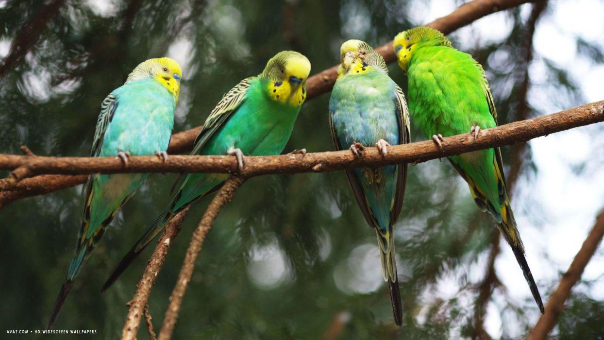 parakeet budgie parrot bird tropical (21) wallpaper