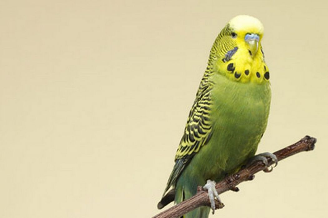 parakeet budgie parrot bird tropical (25) wallpaper