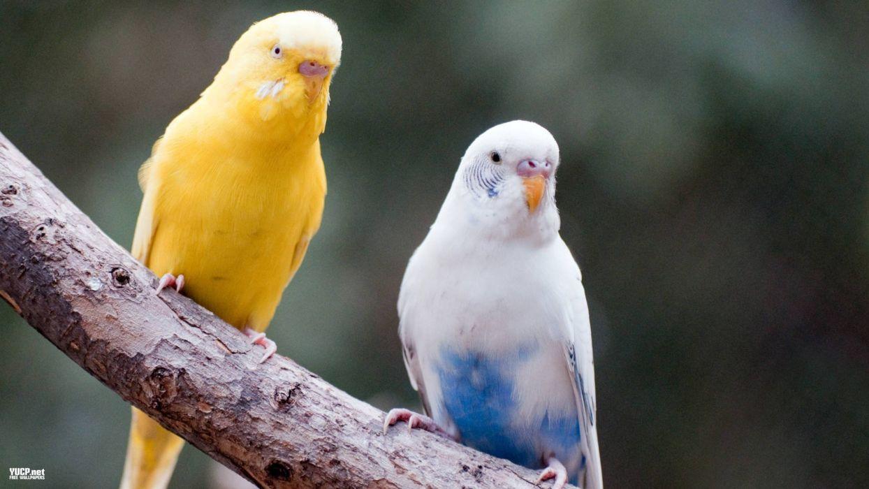 parakeet budgie parrot bird tropical (32) wallpaper