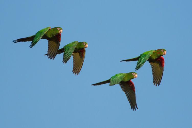 parakeet budgie parrot bird tropical (30) wallpaper