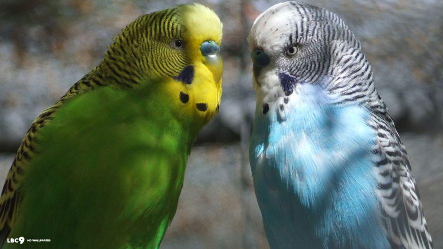 parakeet budgie parrot bird tropical (33) wallpaper