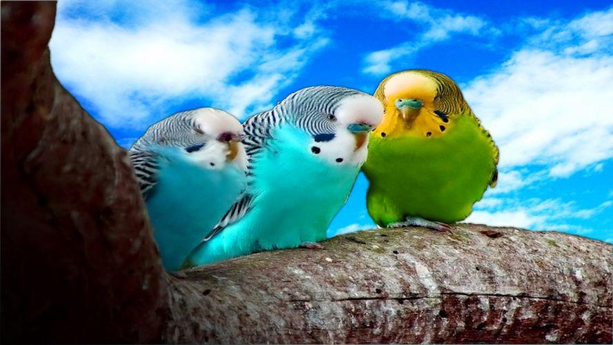 parakeet budgie parrot bird tropical (34) wallpaper