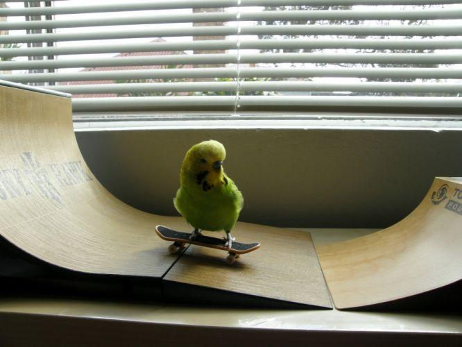 parakeet budgie parrot bird tropical (36) wallpaper