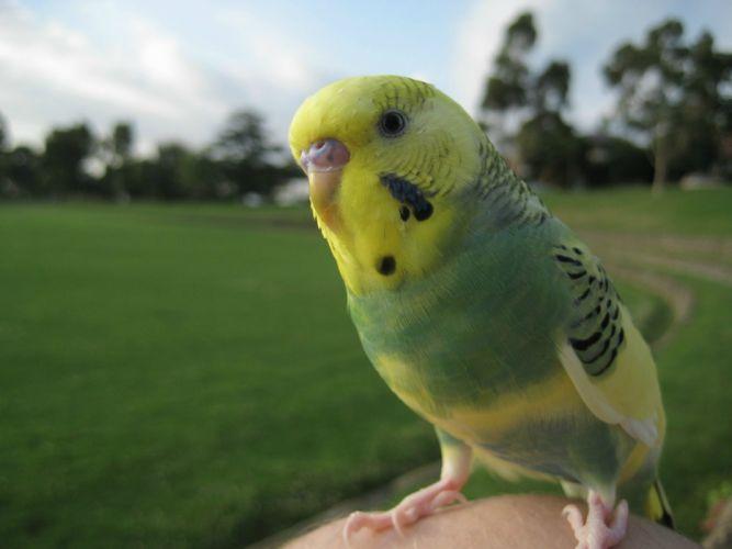 parakeet budgie parrot bird tropical (35) wallpaper