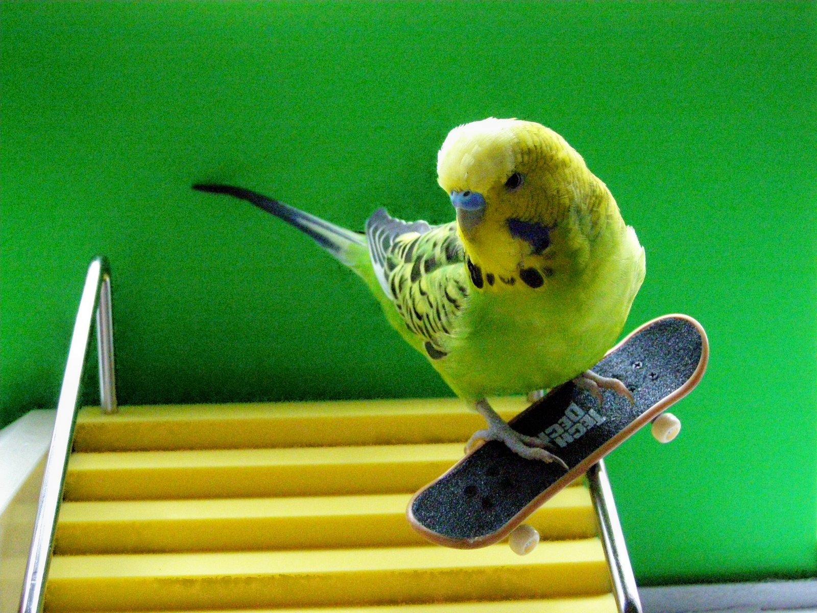 Budgerigar Parakeets Budgies Parakeet Budgie Parrot Bird