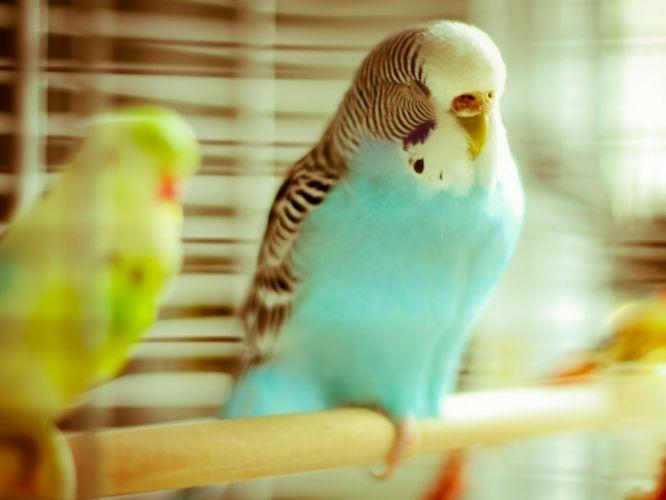 parakeet budgie parrot bird tropical (41) wallpaper
