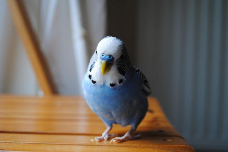 parakeet budgie parrot bird tropical (44) wallpaper