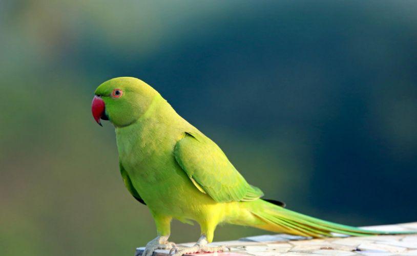 parakeet budgie parrot bird tropical (45) wallpaper
