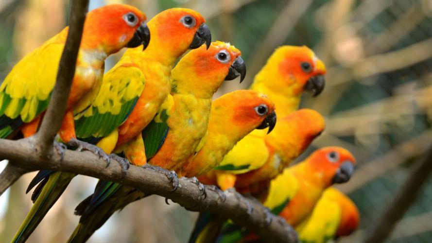 parakeet budgie parrot bird tropical (50) wallpaper