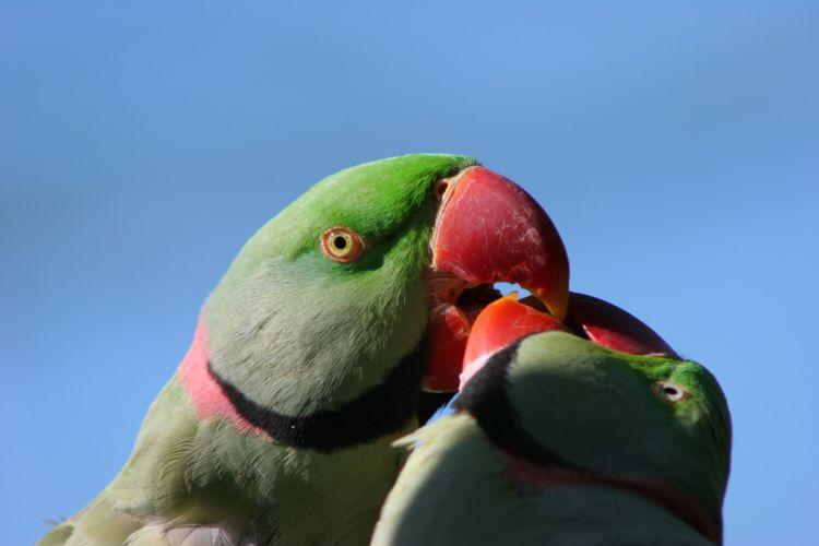 parakeet budgie parrot bird tropical (58)_JPG wallpaper