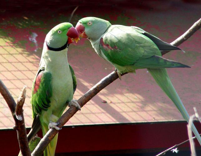 parakeet budgie parrot bird tropical (60) wallpaper