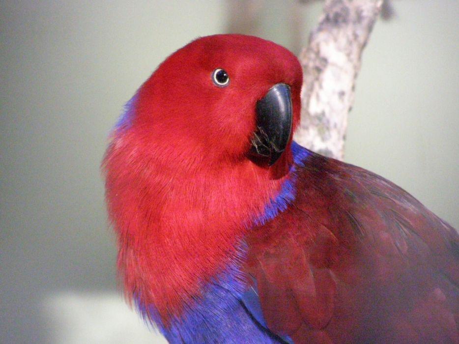 ECLECTUS parrot bird tropical (4) wallpaper