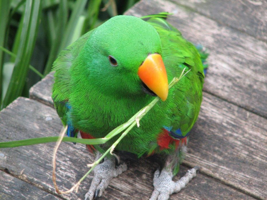 ECLECTUS parrot bird tropical (7) wallpaper