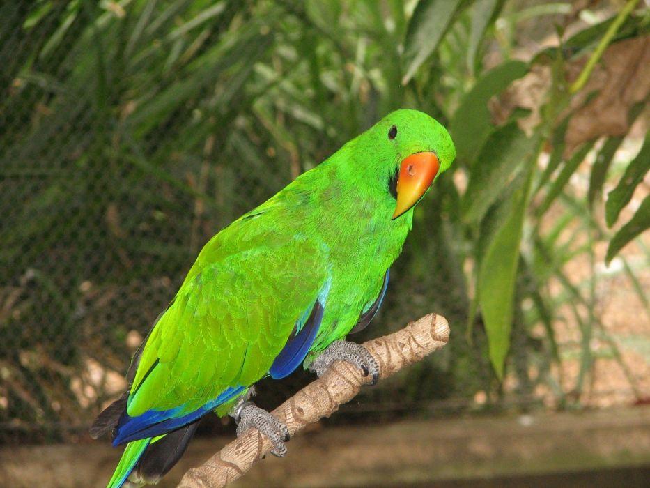 ECLECTUS parrot bird tropical (10) wallpaper