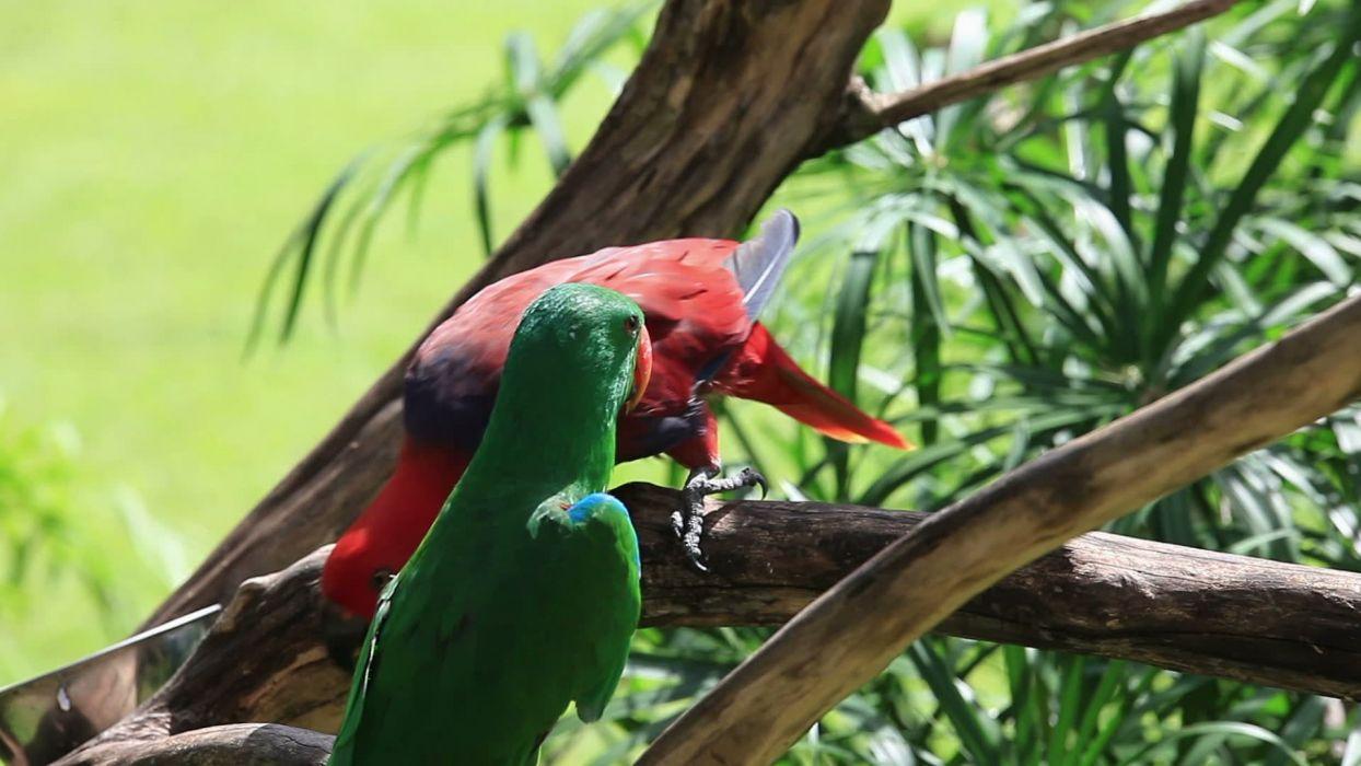 ECLECTUS parrot bird tropical (12) wallpaper