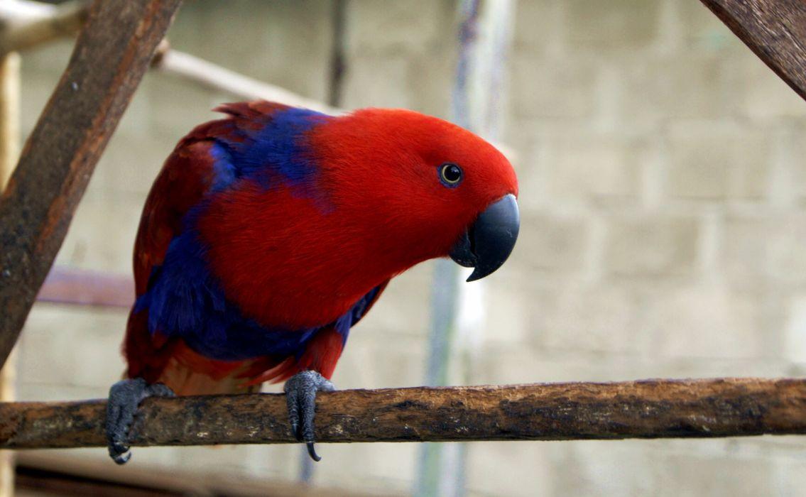 ECLECTUS parrot bird tropical (15)_JPG wallpaper