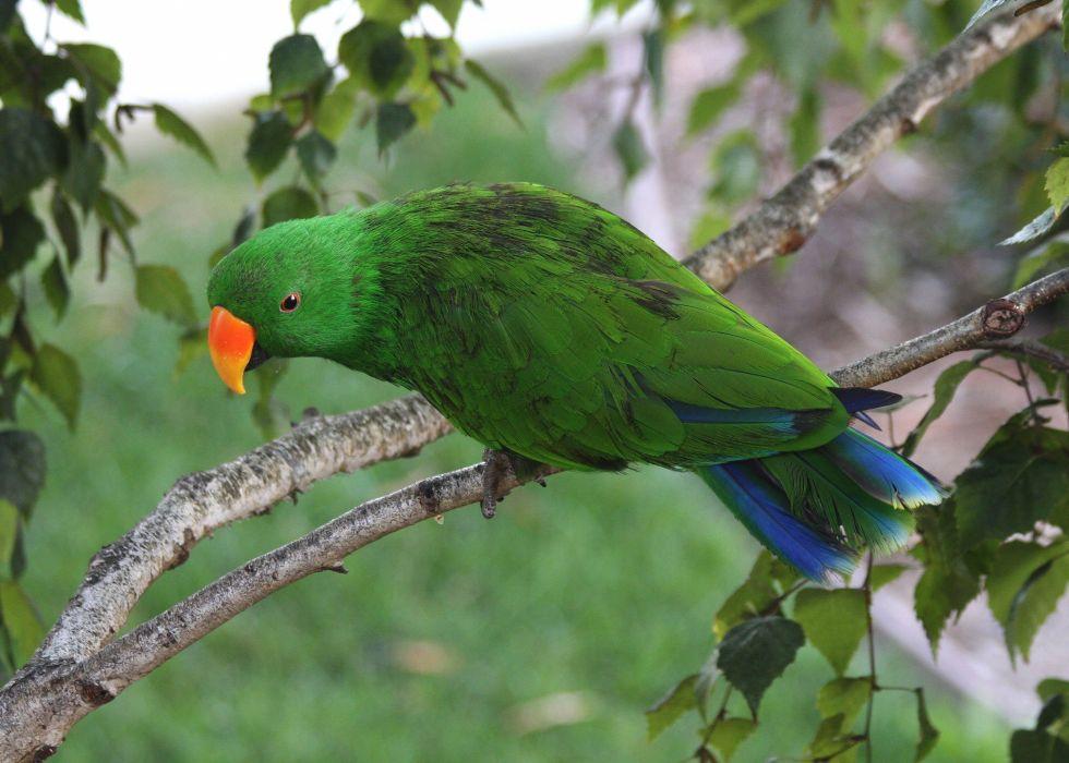 ECLECTUS parrot bird tropical (16) wallpaper