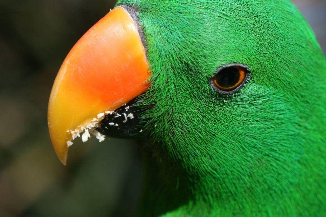 ECLECTUS parrot bird tropical (21) wallpaper