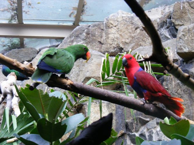 ECLECTUS parrot bird tropical (24) wallpaper