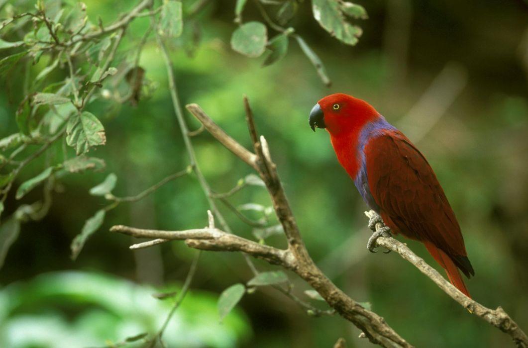 ECLECTUS parrot bird tropical (25) wallpaper