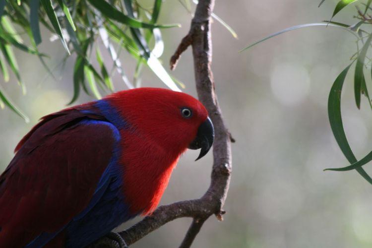 ECLECTUS parrot bird tropical (27) wallpaper