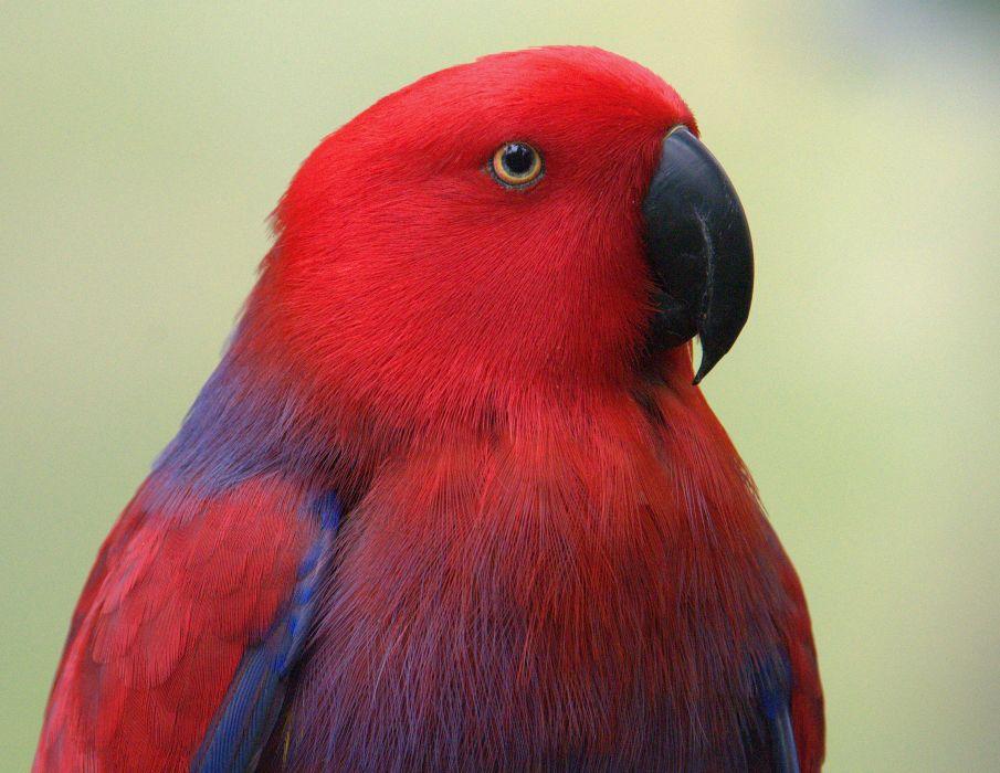 ECLECTUS parrot bird tropical (28) wallpaper