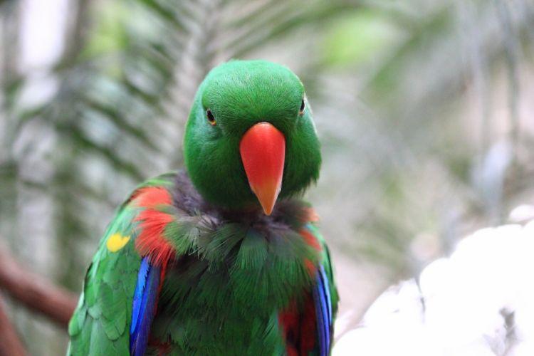 ECLECTUS parrot bird tropical (29) wallpaper