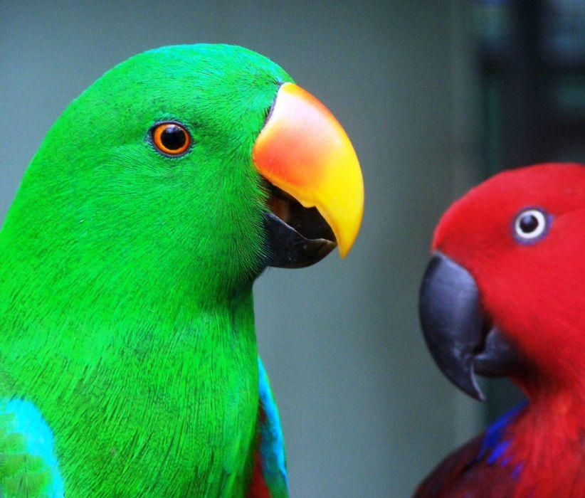 ECLECTUS parrot bird tropical (34) wallpaper