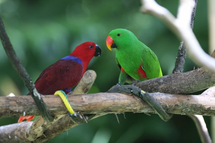 ECLECTUS parrot bird tropical (35) wallpaper