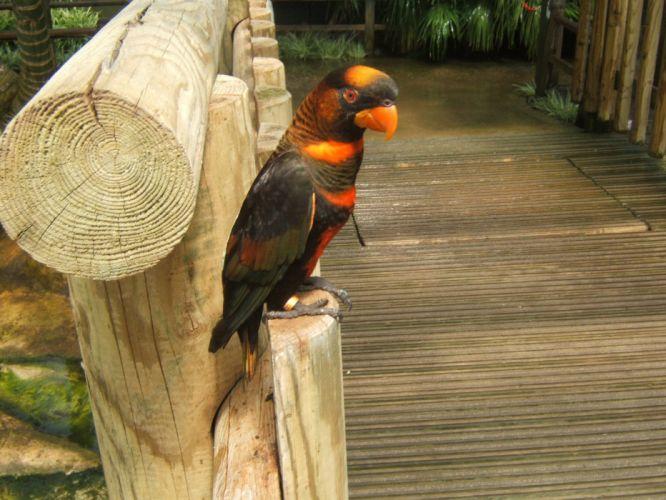 LORY parrot bird tropical (1) wallpaper