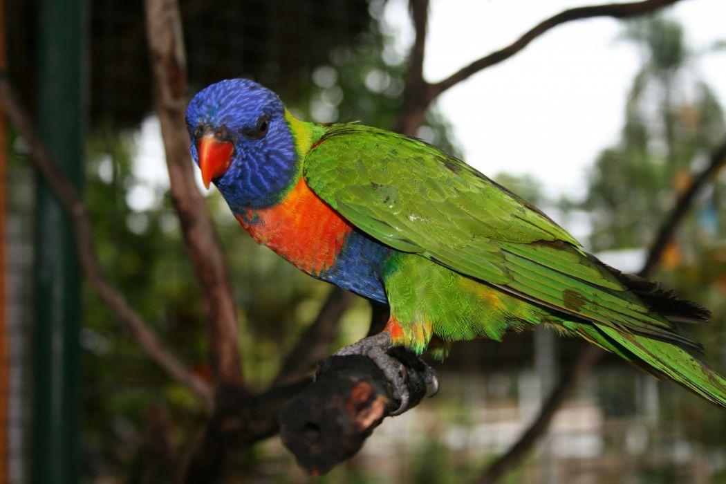 LORY parrot bird tropical (7) wallpaper