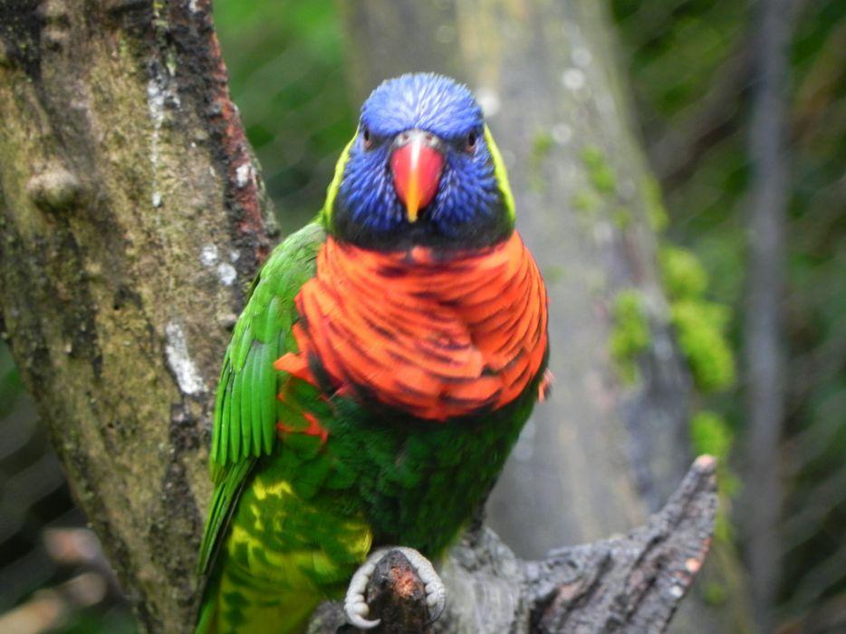 LORY parrot bird tropical (8) wallpaper