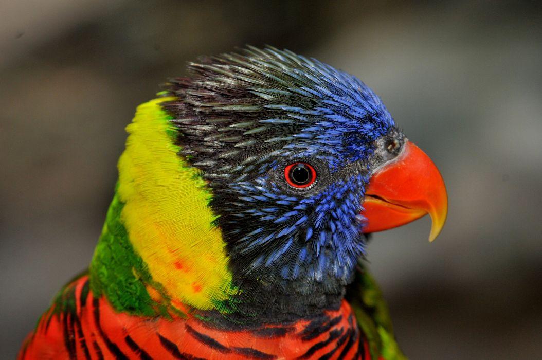 LORY parrot bird tropical (9) wallpaper