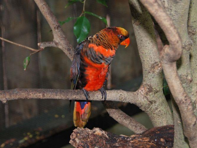 LORY parrot bird tropical (16) wallpaper
