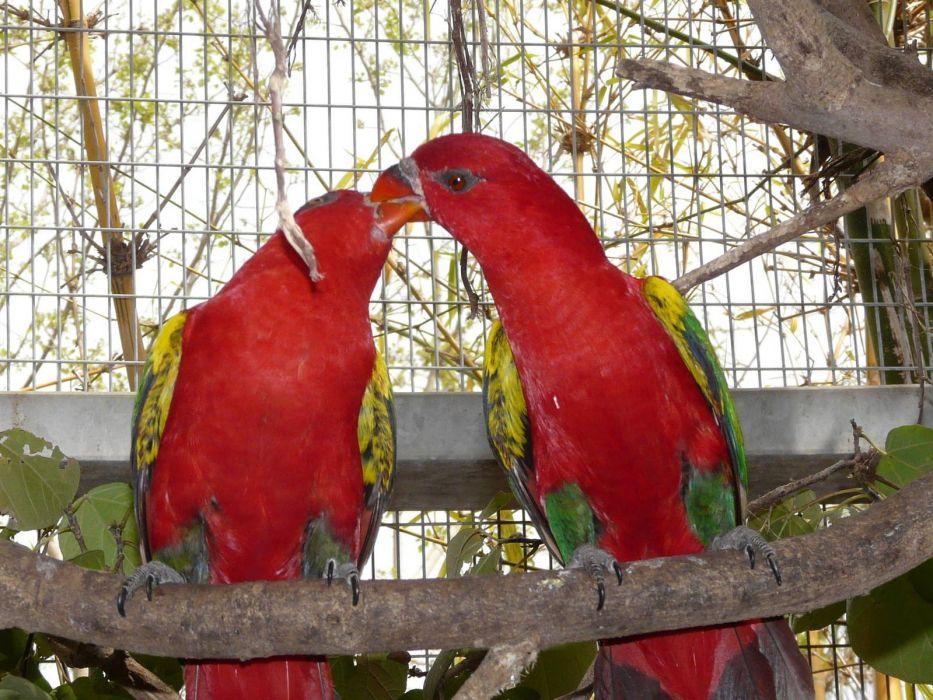 LORY parrot bird tropical (17) wallpaper