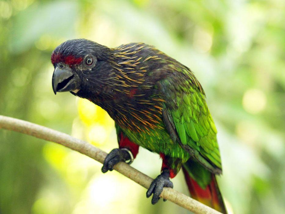 LORY parrot bird tropical (21) wallpaper